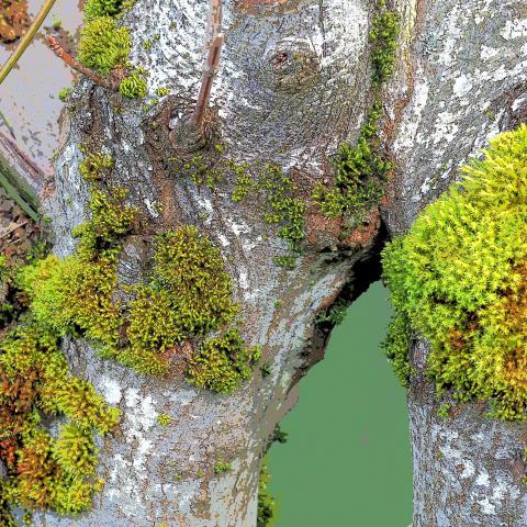 Tree Moss, Tillandsia usneoides, baumflechte